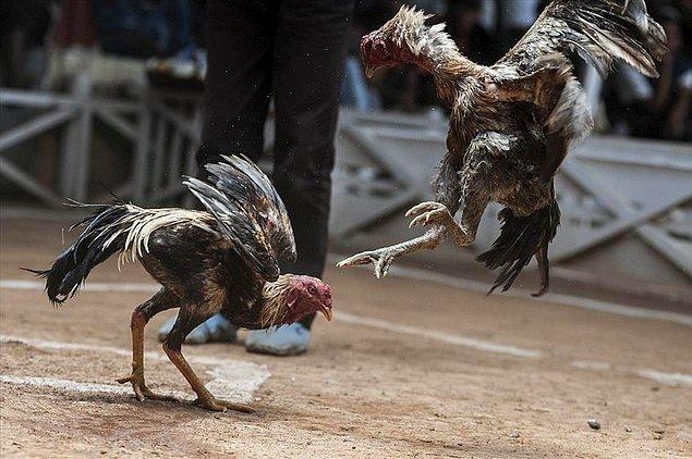 Ülkemizde bu canilik horoz veya köpek dövüşü olarak karşımıza çıkıyor ve hayvanlar üzerinden bazen bahis de oynanıyor.