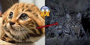 Minnoş Görüntüsünün Ardında Dehşet Verici Bir Avcı Yatan Dünyanın En Ölümcül Kedisi ile Tanışın!