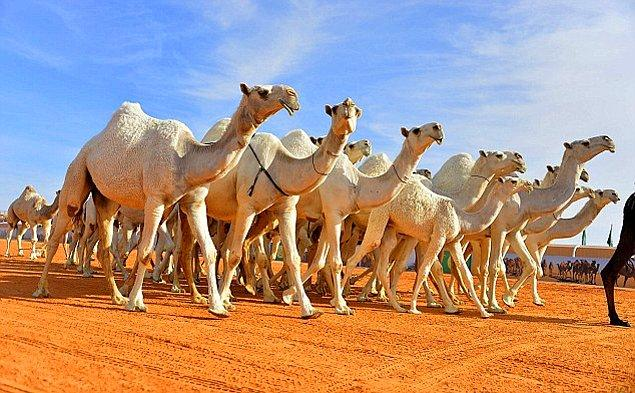 Bu yıl ise 12 deve bazı klinik müdaheleler ve botoks yapıldığı iddiasıyla yarışmadan diskalifiye edildi.