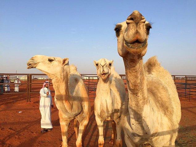 Festivalin güzellik yarışmasına katılan develerde herhangi bir doğal olmayan uygulama kesinlikle yasak.