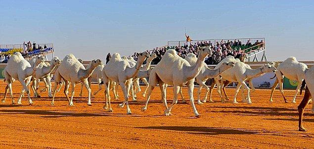 Bir ay süren festival Körfez Bölgesinin en büyük festivali ve 30.000'e kadar devenin katılımıyla gerçekleşiyor.
