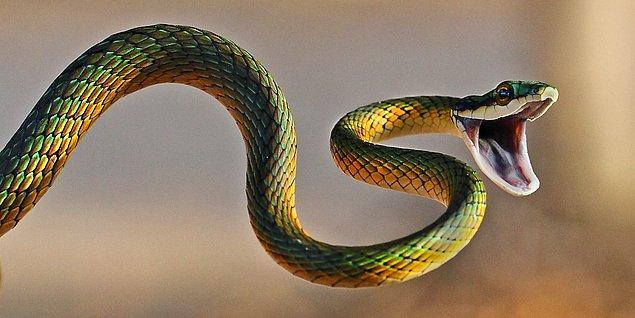 Evet, yılanlar sağlığa yararlı olabilir mi?
