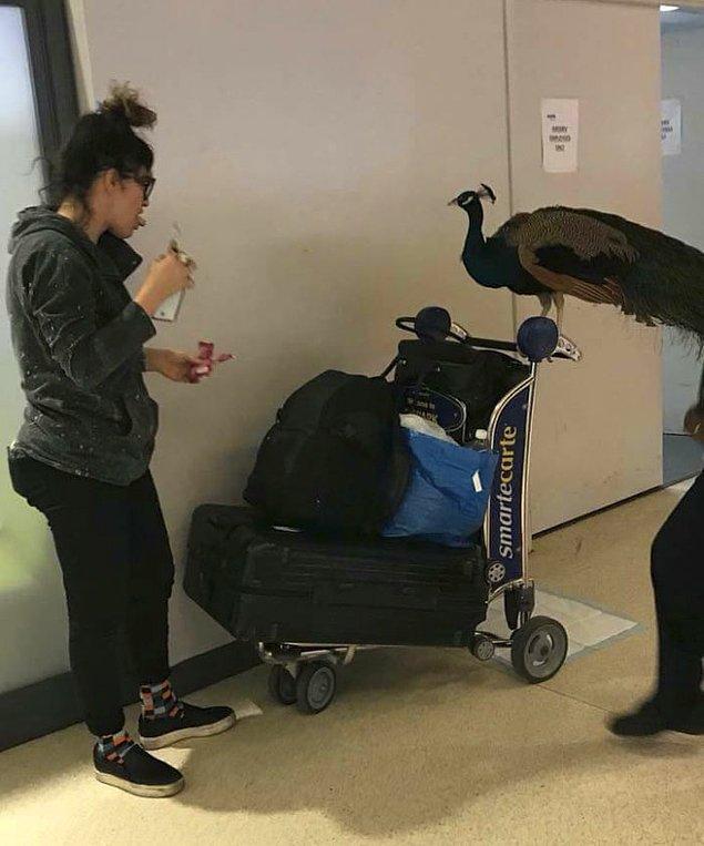 Duygusal destek hayvanları genellikle köpekler ve kediler oluyor. İnsanlar havaalanında bir tavus kuşu görmeye alışkın değildi tabii.