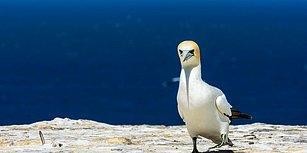 Gerçek Aşkı Bulamadan Hayatını Kaybeden Dünyanın En Yalnız Kuşu: Nigel