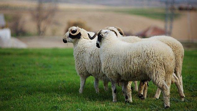 300 koyun projesi, özel bir ekip tarafından hazırlanıyor.