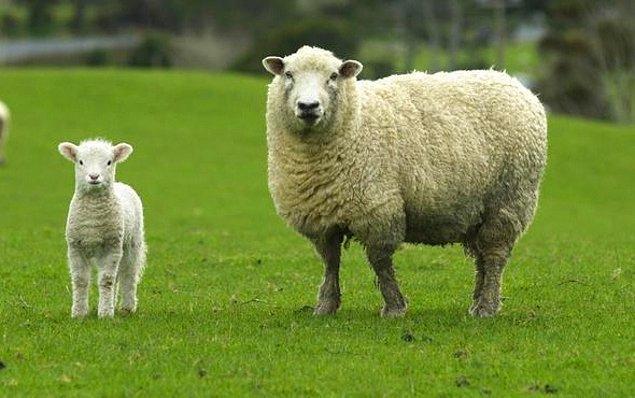 Dağıtılacak olan koyunların fiyatı ne olacak?