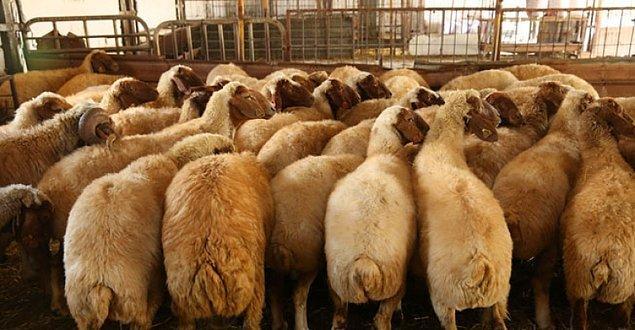 Projeye katılanlar daha sonra koyunları satabilecek mi?