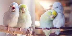 Bir Hayvanseverin Papağanları İçin Hazırladığı 'Resimli Aşk Hikâyesi' Kalbinizi Isıtacak!