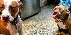 Dünyanın En 'Vahşi' Köpeği Pitbulların Mıncırılası 15 Anı