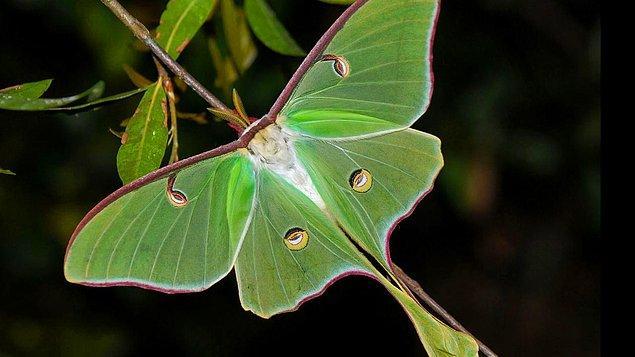 13. Pervane böceğinin bir ağzı yok. Kısacık ömründe sadece uçup, çiftleşip, ölür.
