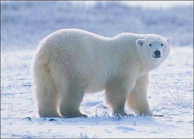 19. Karla kaplı Antartika'da beyaz renkli kutup ayılarını takip etmekte zorlanan bilim insanları, termal kamera kullanmaya karar verir ama sonuç ilginçtir, çünkü kamera işe yaramıyordur.