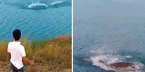 Korkunç Görüntüler: Vicdansız Bir Kişi Tarafından Suya Fırlatılan Yavru Köpek Timsaha Yem Oldu