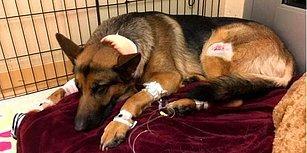 16 Yaşındaki İnsan Dostunu Silahlı Hırsızlardan Korumaya Çalışırken Vurulan Kahraman Köpek Rex!
