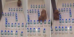 Uzun ve Tüylü Vücudunu Su Şişelerinden Oluşturulan Labirentten Kolayca Geçirebilen Köpek