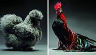 Kuşları Hiç Böyle Görmediniz! Birbirinden Güzel Onlarca Tavuk ve Horozun Büyüleyici Fotoğrafları