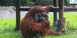 Hayvanseverleri Harekete Geçiren Sigara İçen Orangutan Görüntüsü