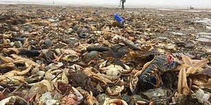 Yürek Burkan Manzara: İngiltere'de Binlerce Deniz Canlısı Kıyıya Vurdu...