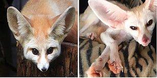 Sahibi Onu Vegan Beslediği İçin Perişan Görünen Zavallı Evcil Tilki Jumanji