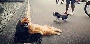 Köpeğin Tepkisine Kılını Bile Kıpırdatmayan, Dünya Yıkılsa Umurunda Olmayacak Kedi