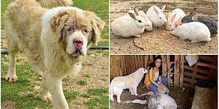 İstismara Uğrayan da Var, Kör Edilen de: 700 Hayvanın Birlikte Yaşadığı Huzur Çiftliği