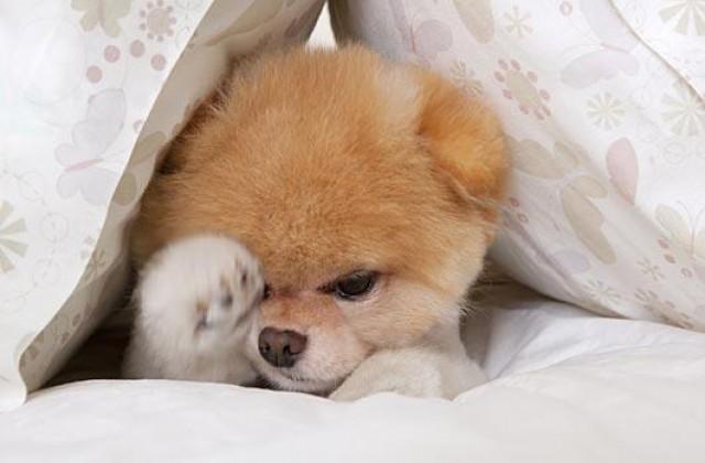 Boo >> Tatlis Mi Tatlis Kopek Cinsi Pomeranian Boo Hakkinda Bilmeniz