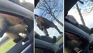 Safari Yapan Ailenin Aracındaki Cam Boşluğundan İçeri Pisleyen Maymun