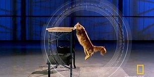 Ağır Çekim Görüntülerle Bir Kedinin Zeminden Yüksek Bir Yere Kusursuz Atlama Anları