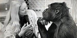 Bu  Testte Başarılı Olmak İçin Bir  Gorilden Daha Zeki Olmak Yeterli!