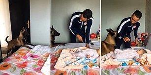 Bebeği Babasının Şiddetinden Koruyan Alman Çoban Köpeği