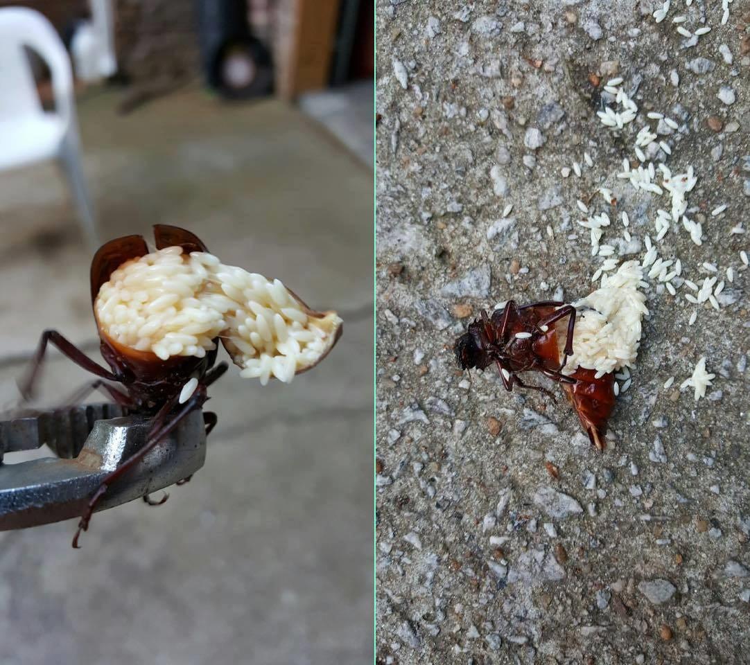 Hamamböcekleri: onları evden nasıl çıkaracağım