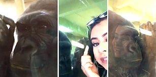 Hayvanat Bahçesini Ziyaret Eden Kadının Kirpiklerini Fark Eden Gorilin Şaşırtıcı Tepkisi