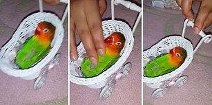 Papağanına Beşik Yapıp Sallarken Ninni Söyleyen Mükemmel Kadın