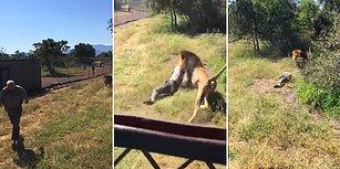 Vahşi Yaşam Parkında Bir Aslan Tarafından Saldırıya Uğrayan Adam