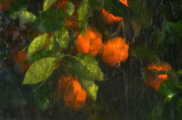 3. Seranın camekanlarında boyanmış gibi duran portakalların fotoğrafı