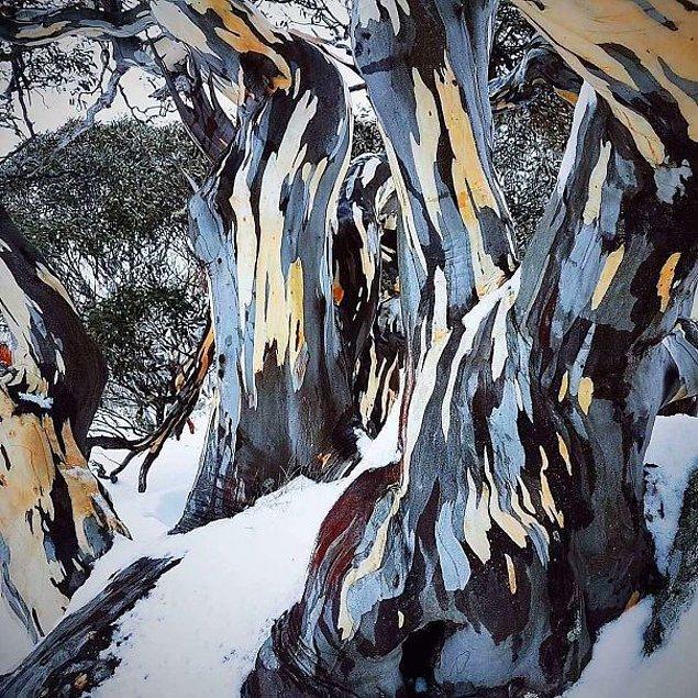 20. Okaliptüs üzerindeki kabuklardan sıyrılan ve resim görüntüsü veren kar