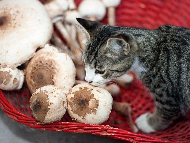 7. Mantarların hepsi kediler için zehirlidir.