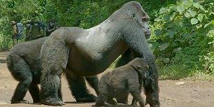 Yolun Karşısına Geçen Ailesinin Güvende Olması İçin Muhteşem Bir Lider Duruşu Sergileyen Goril