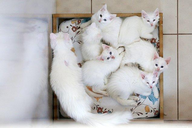 'Dünyadaki kedi ırkları içerisinde yüzmeyi seven tek hayvan'