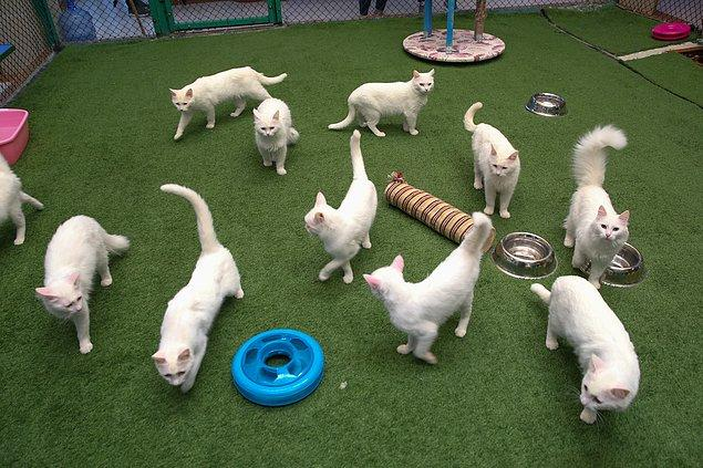 Kentin canlı kültür mirası olan Van kedileri, onlar için özel tasarlanan havuzlarda yüzecek.