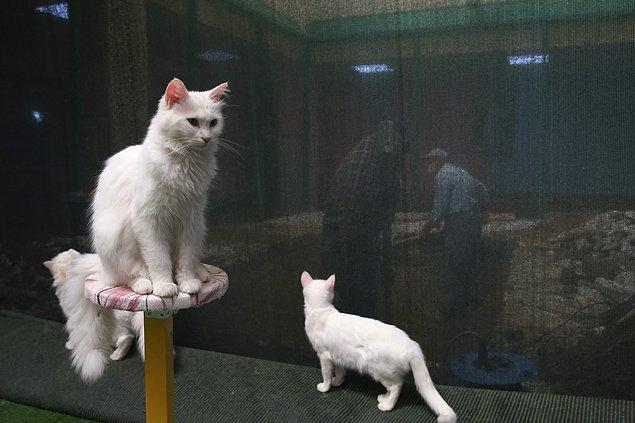 Van kedisi, ipeksi kürkü, aslan yürüyüşü, kabarık kuyruğu ve değişik göz renkleri ile özel bir yere sahip.