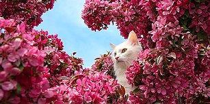 Yüzmeyi Seven Tek Kedi Türü ve Canlı Kültür Miraslarımızdan Biri: Van Kedisi!