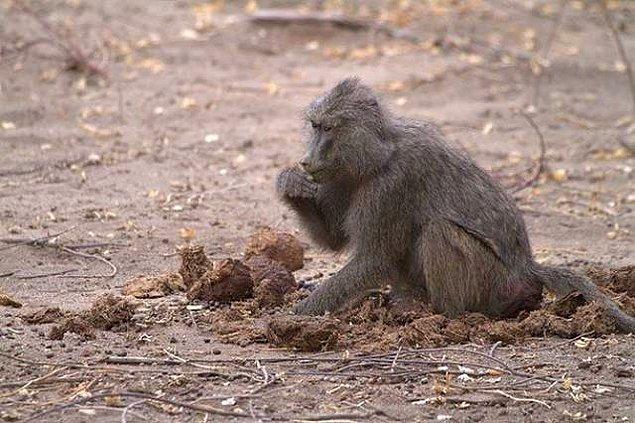 4. Bazı hayvanların kendi kakalarını yediğini biliyoruz, ama bunu yapan insanlar da var...