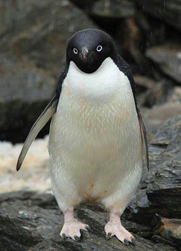 24. İlk bakışta bu penguenlerin muhteşem olduğunu düşünebilirisiniz ama...