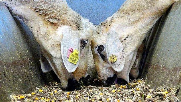 ''Henüz kendilerine çıkan bir koyun teşviki yok''