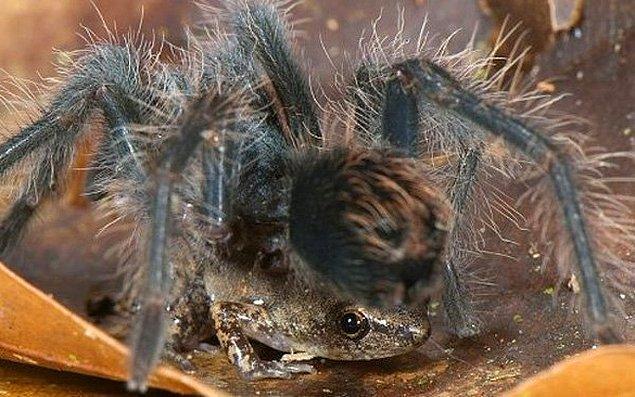 4. Örümcek ve kurbağanın dostluğu!