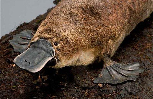 6. Ornitorenklerin karnı yoktur. Yavaşça öğütmek üzere vücutlarında yemeği toplamak yerine, yemek girer ve atık çıkar.
