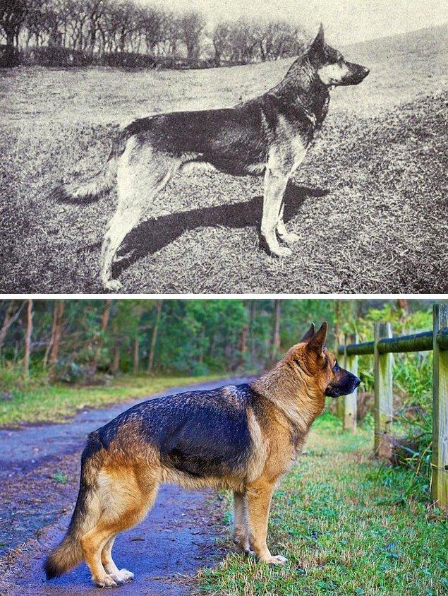 11. En sadık dostlarımız, köpekler... Peki ya onlar ne gibi değişimlere uğradılar?