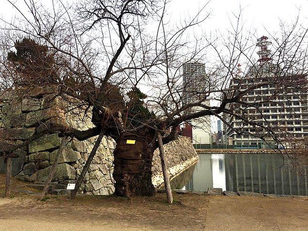 8. Hiroşima Saldırısı'ndan sağ kalan bir ağaç...