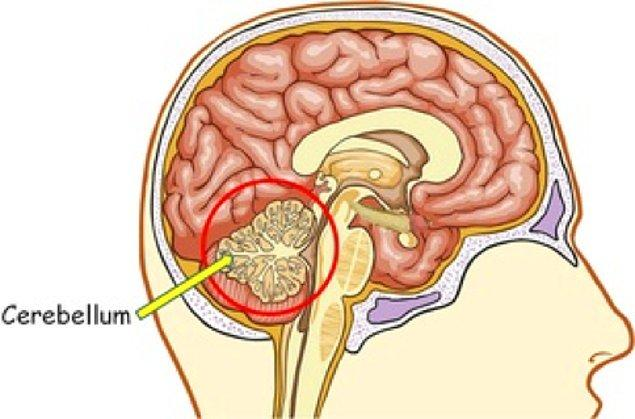 Cerebellum yani beyincik, yaptığınız her hareketin farkında olmanızdan sorumlu bir organ bölümü. İşte buna gıdıklanmak da dahil.