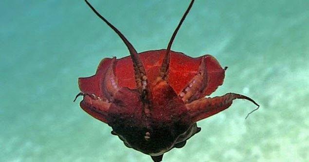 7. Dünyanın en tuhaf mürekkep balığı